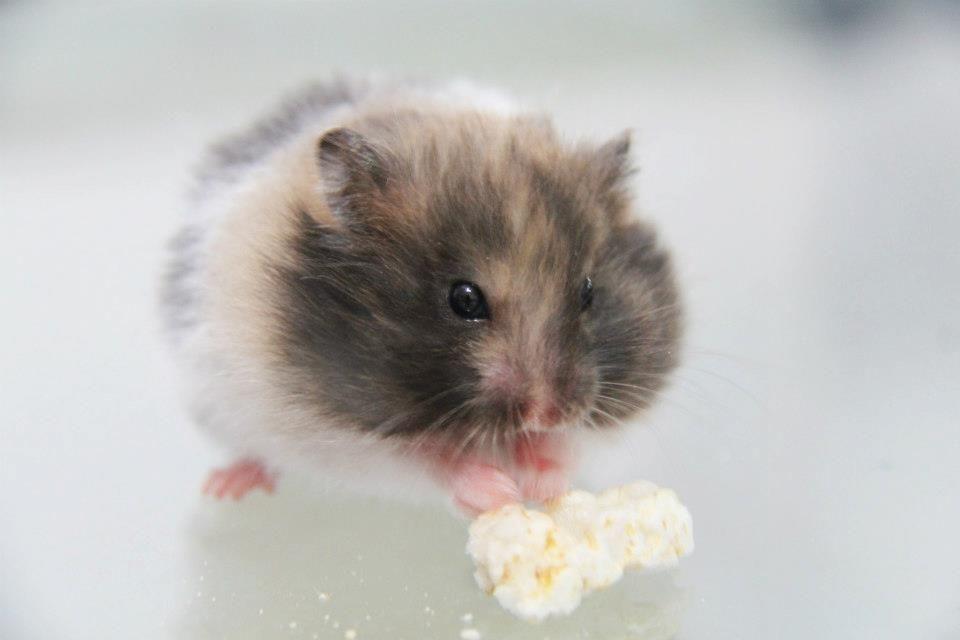 Cherimoya Lh Calico Syrian Hamsters Showcase Syrian Hamster Hamster Baby Hamster