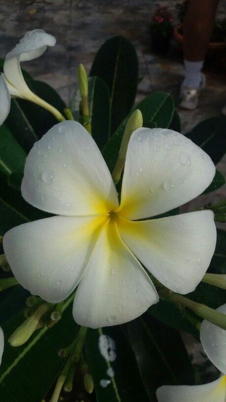 Frangipani Pani Means Water In Hindi Frangipani Green Thumb Garden