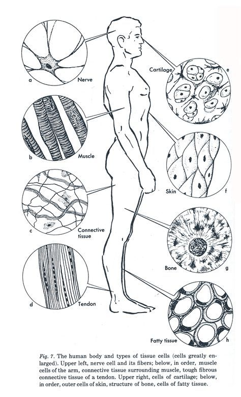 week 3 ANATOMY: Diagram of Human Tissue. A tissue is made
