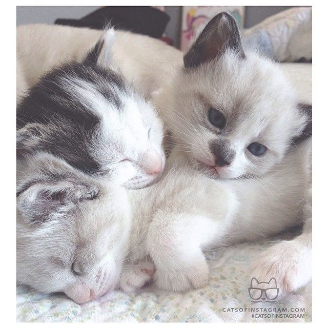 From Baileykuma Hello Were Two And A Half Weeks Old Have Beautiful Blue Eyes Like Our Siamese Mommy Catsofinstag Cute Animals Kittens Cutest Cute Cats
