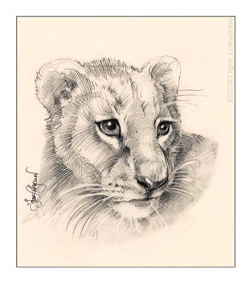 Cute Lion Cub Drawing Baby Lions Face Pic Art Drawings Lion