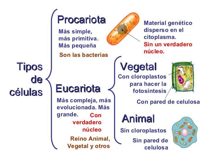Resultado de imagen para celula animal vegetal procariota