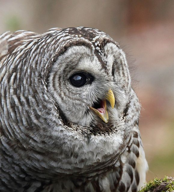 Barred Owl by Canonshooterman, via Flickr