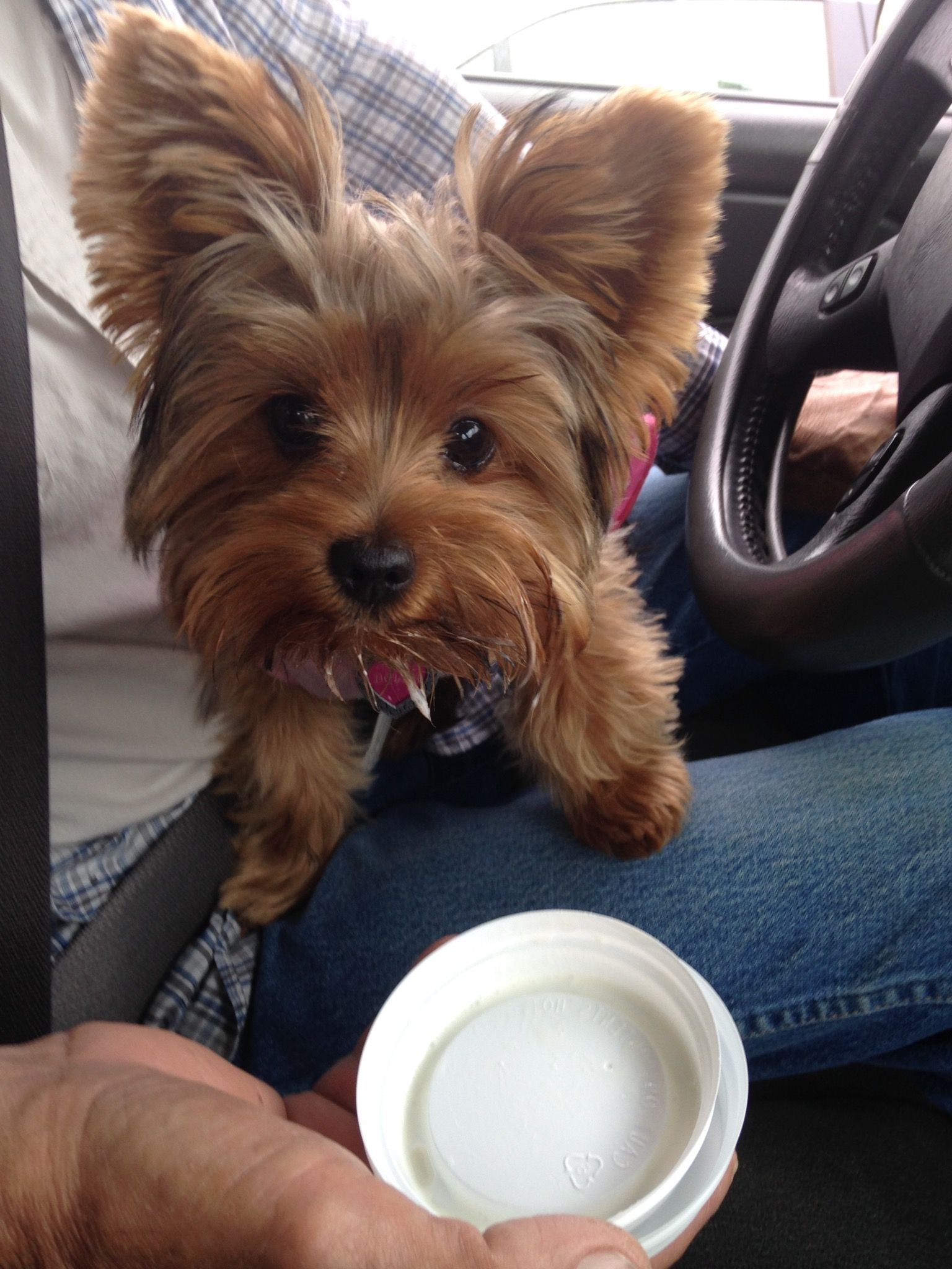 Pin By Lily Baxter On Yorkies Yorkie Terrier Yorkshire Terrier Yorkie