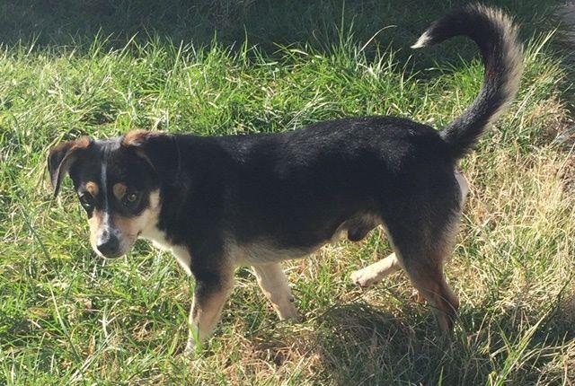 Beagi Dog For Adoption In Vacaville Ca Adn 493965 On Puppyfinder Com Gender Male Age Adult Dog Adoption Dogs Corgi Beagle Mix