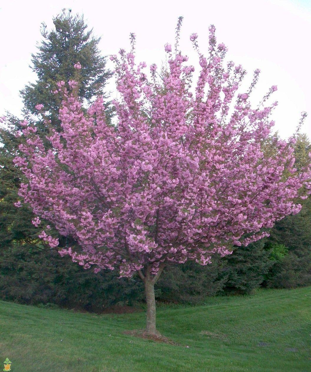 kwanzan cherry tree my garden pinterest cherry tree. Black Bedroom Furniture Sets. Home Design Ideas