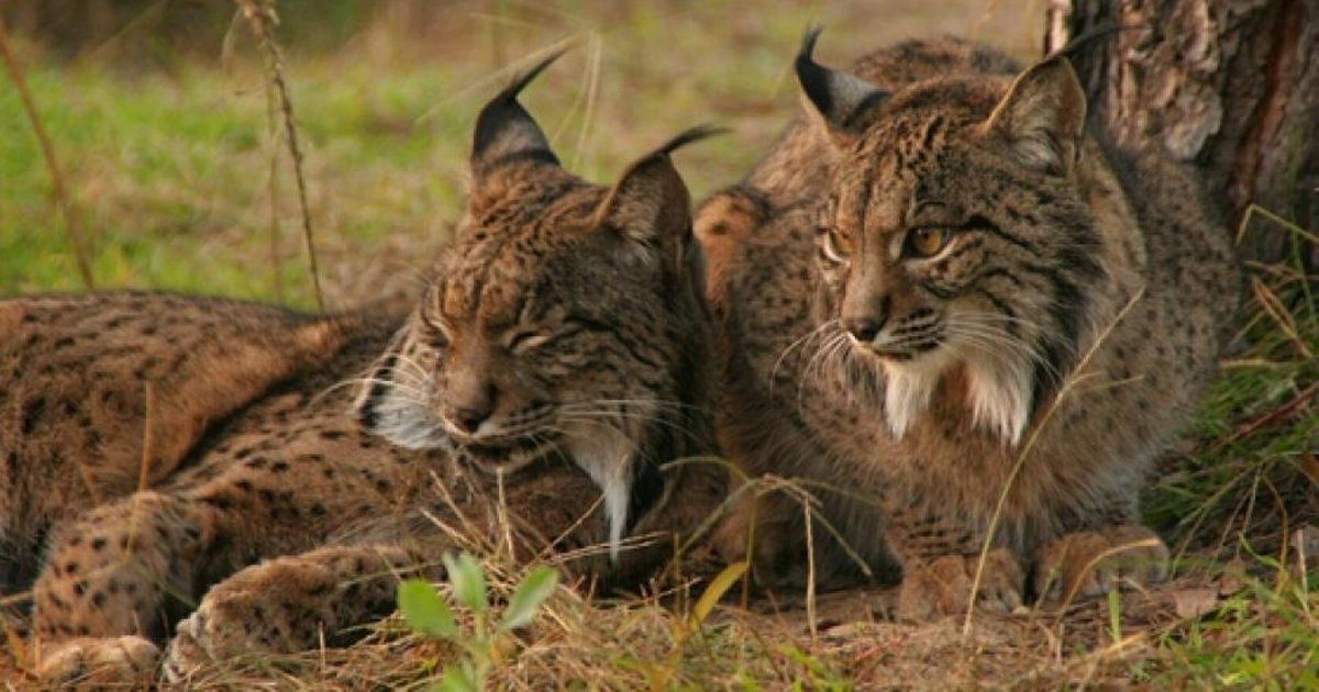 Defend the endangered Iberian lynx SIGN AND SHARE THIS