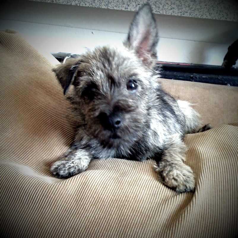 Cairn Terriers Rules #cairnterrier