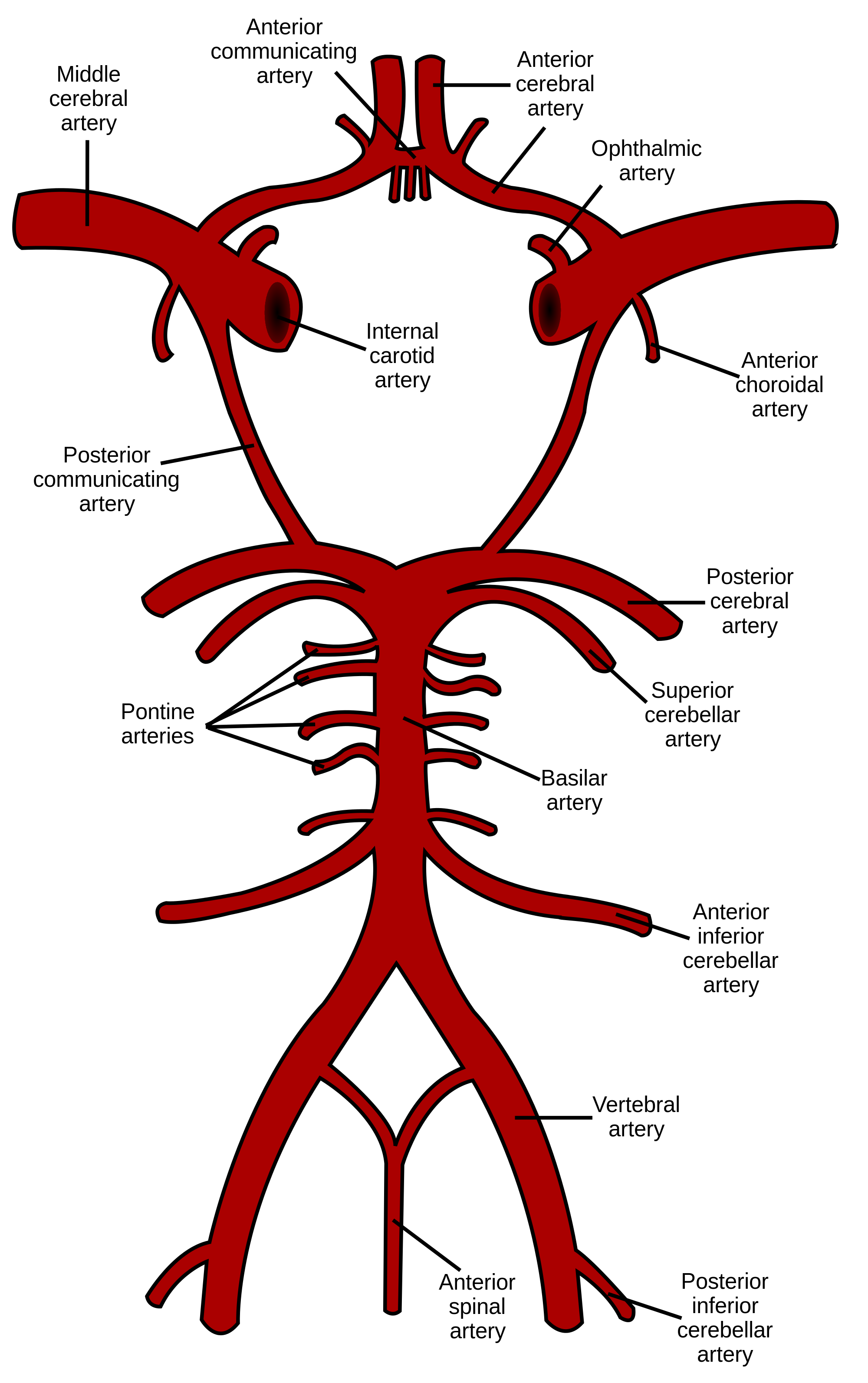 Image result for branches of internal carotid artery   Circle of willis. Vertebral artery. Anatomy