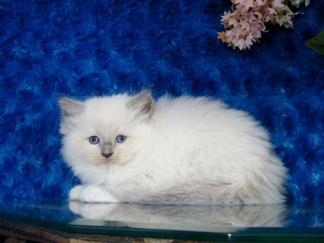 Love Ragdolls Lizzy Blue Mitted Female Ragdoll Ragdoll Kitten For Sale Cute Animals Munchkin Kitten Ragdoll Kitten