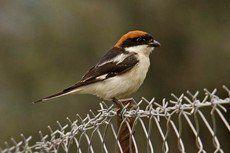 ♫ Alcaudón Común - Escucha la voz del pájaro