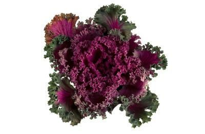 Flowers That Look Like Cabbage Heads Ornamental Cabbage