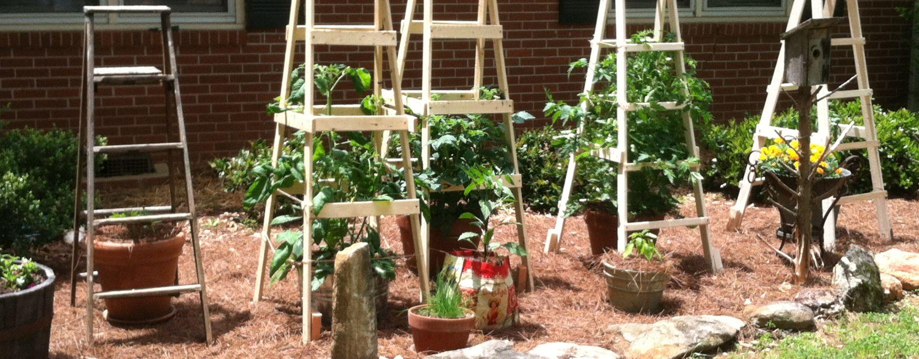 Todd's Tomato Ladders Tomato