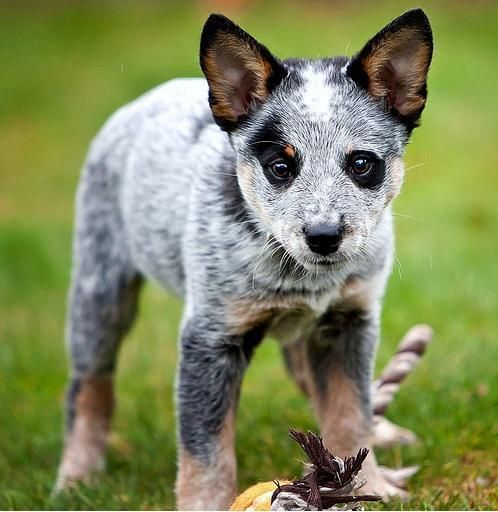 As An Advocate For Pet Spaying And Neutering Tambi Renee Continues To Espouse The Benefits Of Th Cattle Dog Puppy Austrailian Cattle Dog Australian Cattle Dog