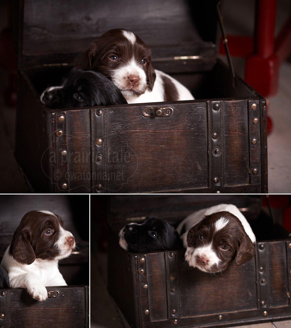 Puppy Treasure Puppies English Springer Spaniel Spaniel Dog