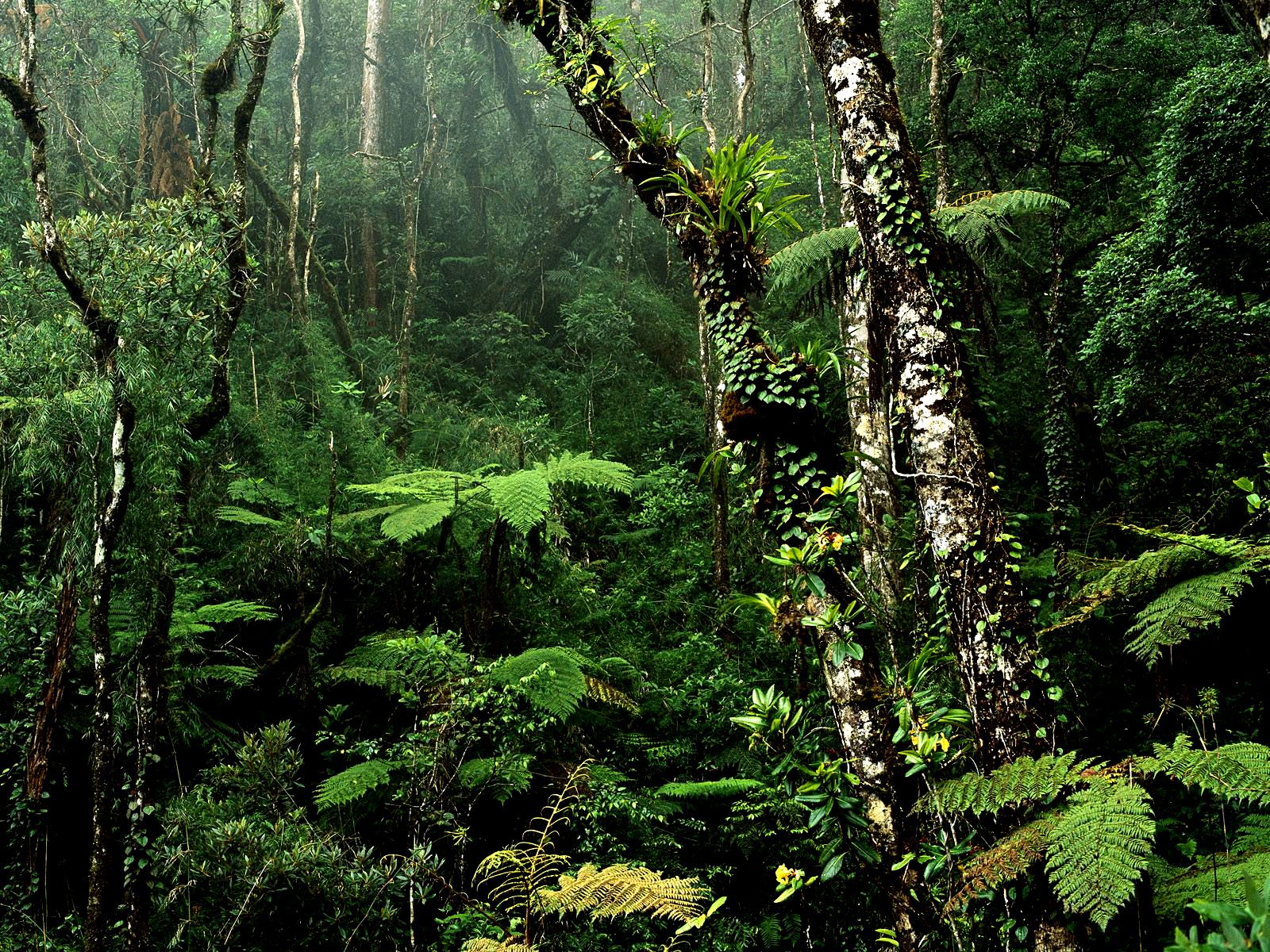 Did you know that the Borneo rainforest is 130 million years old, making it the oldest rainforest in the world? There are about 15,000 species of flowering plants with 3,000 species of trees (267 species are dipterocarps), 221 species of terrestrial mammals and 420 species of resident birds in Borneo.    (Photo is Montane Rainforest, Mount Kinabalu National Park, Borneo)