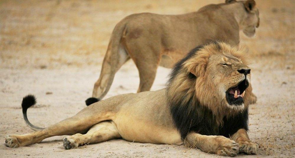 La Cacería De Trofeos Y La Muerte De Cecil National Geographic En Español Leon Africano Zimbabue Especies En Peligro De Extinción