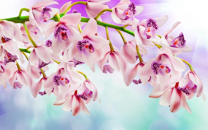 Lataa kuva vaaleanpunainen orkideat, 4k, kauniita kukkia, orkideat