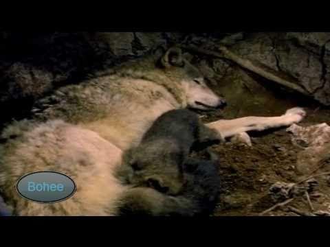 El Lobo Canis lupus Documental Nacimiento y vida - YouTube