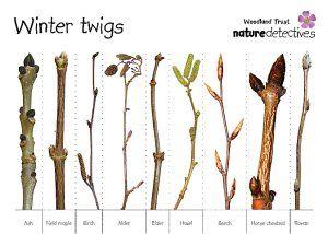 Winter Trees Tree Identification Twig