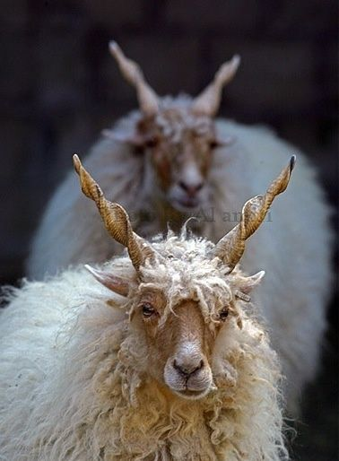 Racka Sheep. Look at their cool twisty horns!