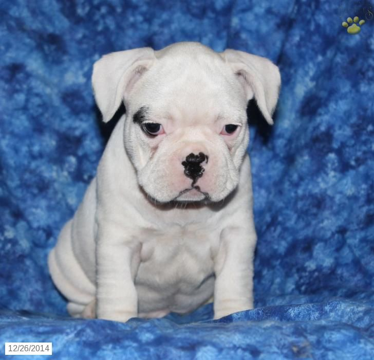 French Bulldog Puppy For Sale In Pennsylvania With Images