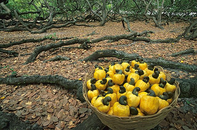 RIO GRANDE DO NORTE, Capital: Natal. Pirangi do Norte - In this place is located the largest cashew tree in the world.