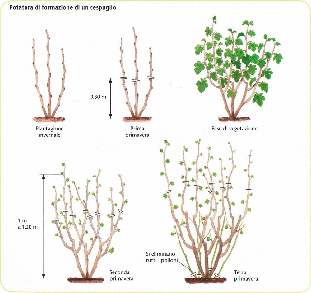 Fico Coltivazione, Potatura e Cura Herbs, Fig