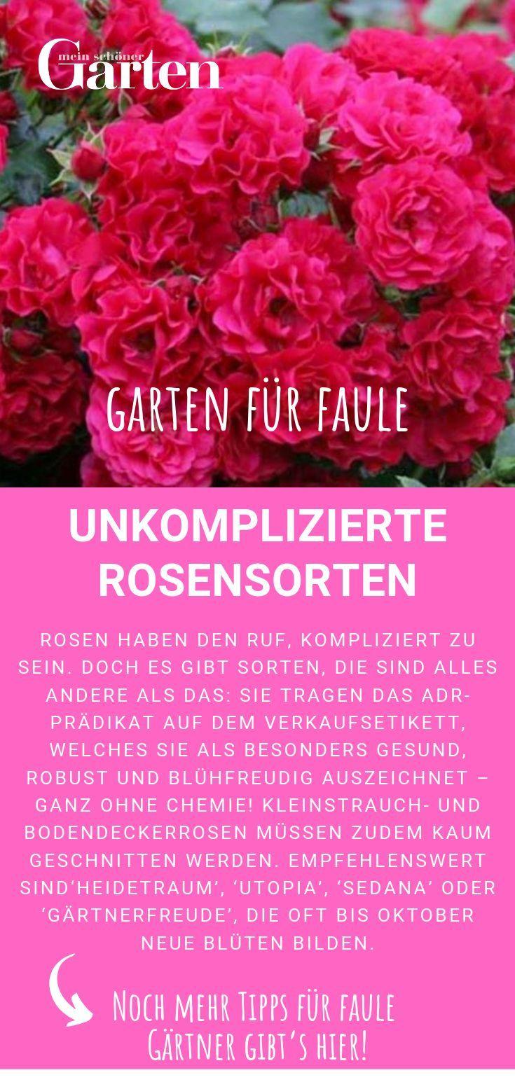 Faule Fur Garten Rosensorten Unkomplizierte Unter Den Rosensorten Gibt Es Solche Die Unkompliziert Sind Und Das Adr Rosensorten Bepflanzung Garten
