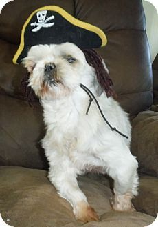 Flanders Nj Shih Tzu Meet Rudy A Dog For Adoption Http Www