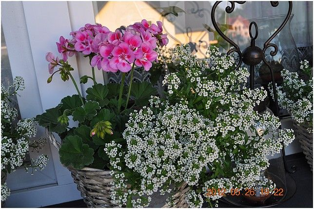 Zobacz Watek Doniczkowe Kompozycje Na Balkon I Taras Flowers Plants Potted Plants