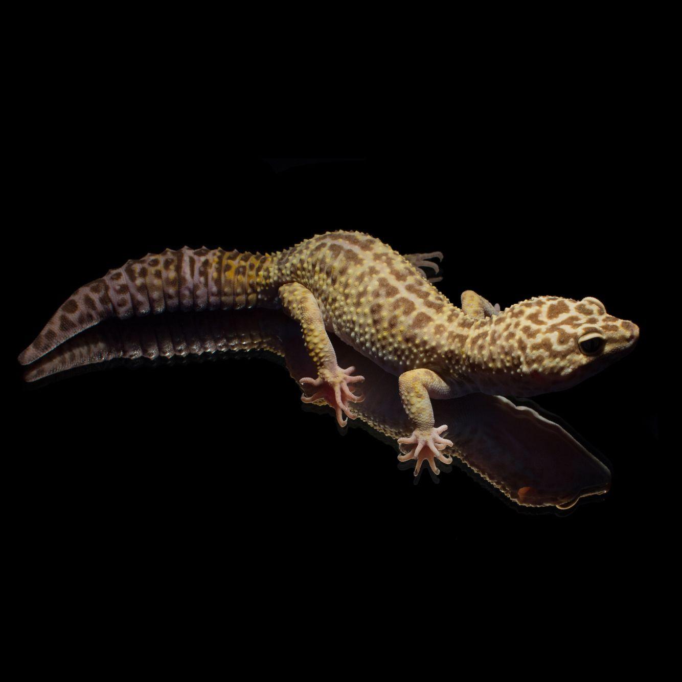 #Leopardgecko 'Churchill' Tangerine Tremper Albino