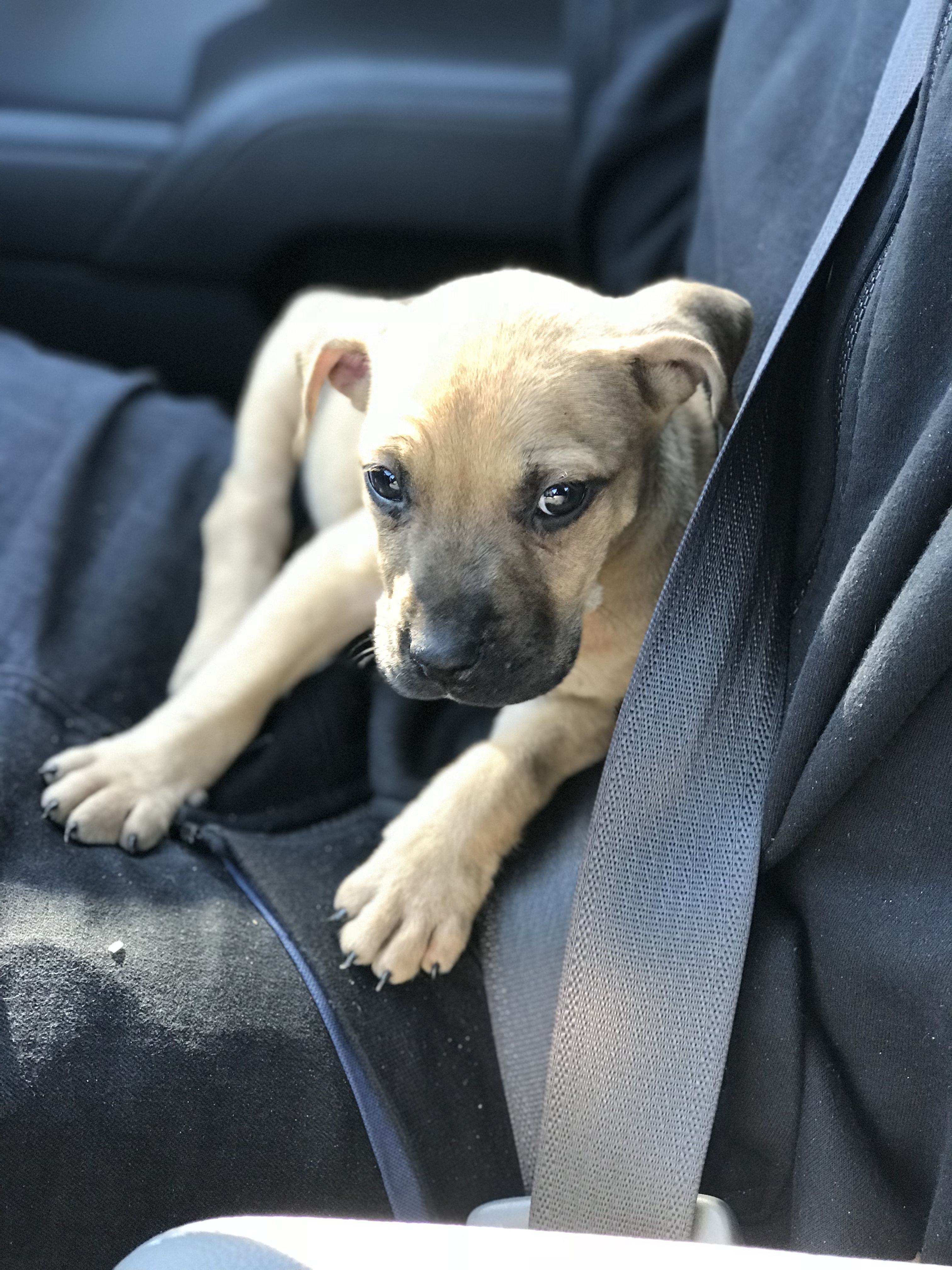 Pin On Black Mouth Cur Pit Bull Mix