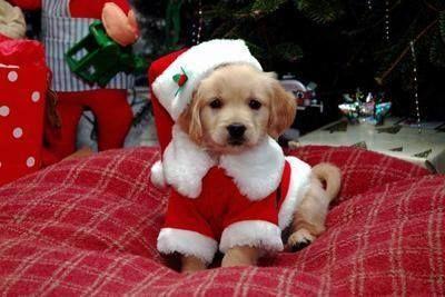 Christmas Golden Retriever Puppy Adorable Perros Navidad