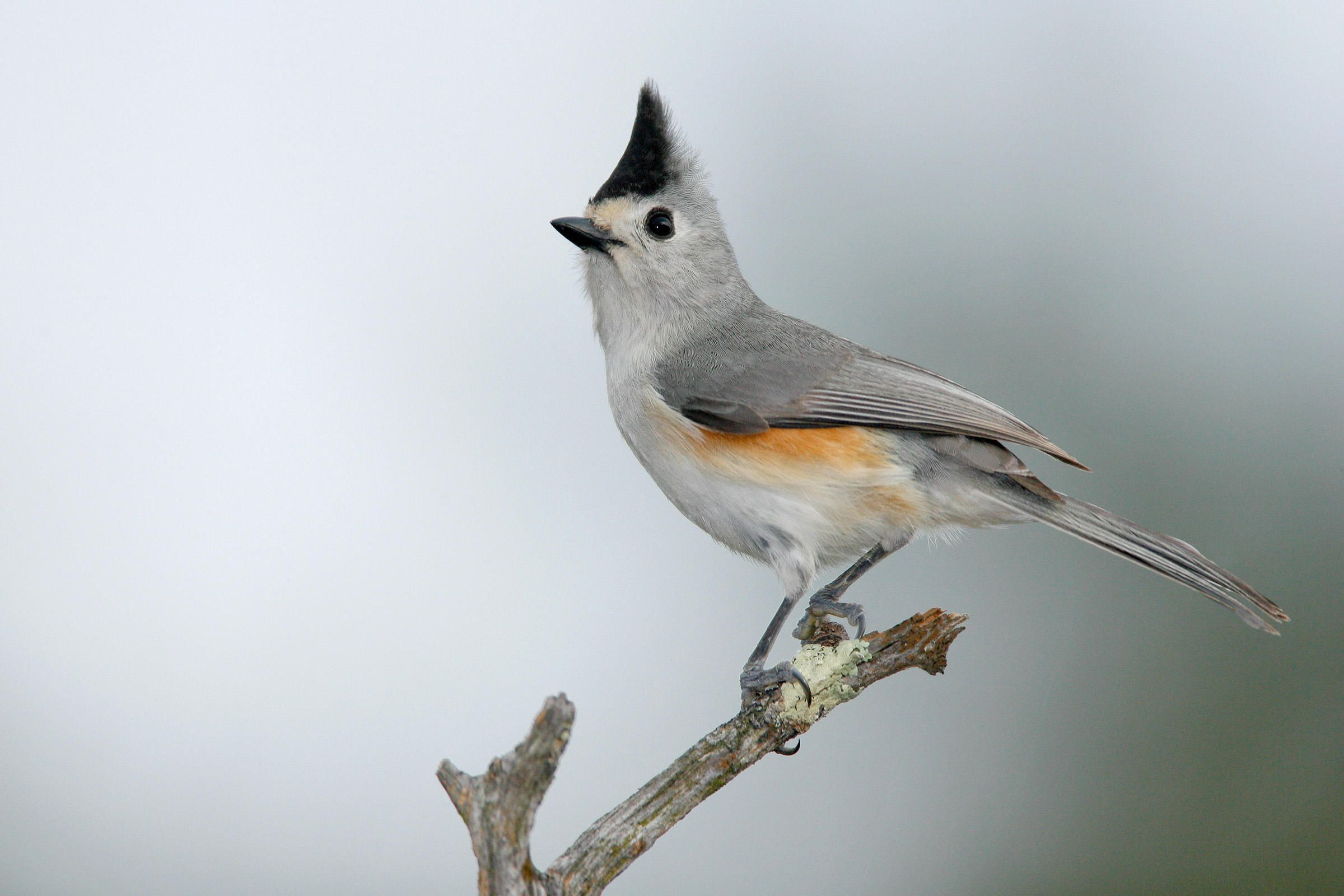 Black crested titmouse baeolophus atricristatus is a black crested titmouse baeolophus atricristatus is a characteristic bird of much of southern sciox Images