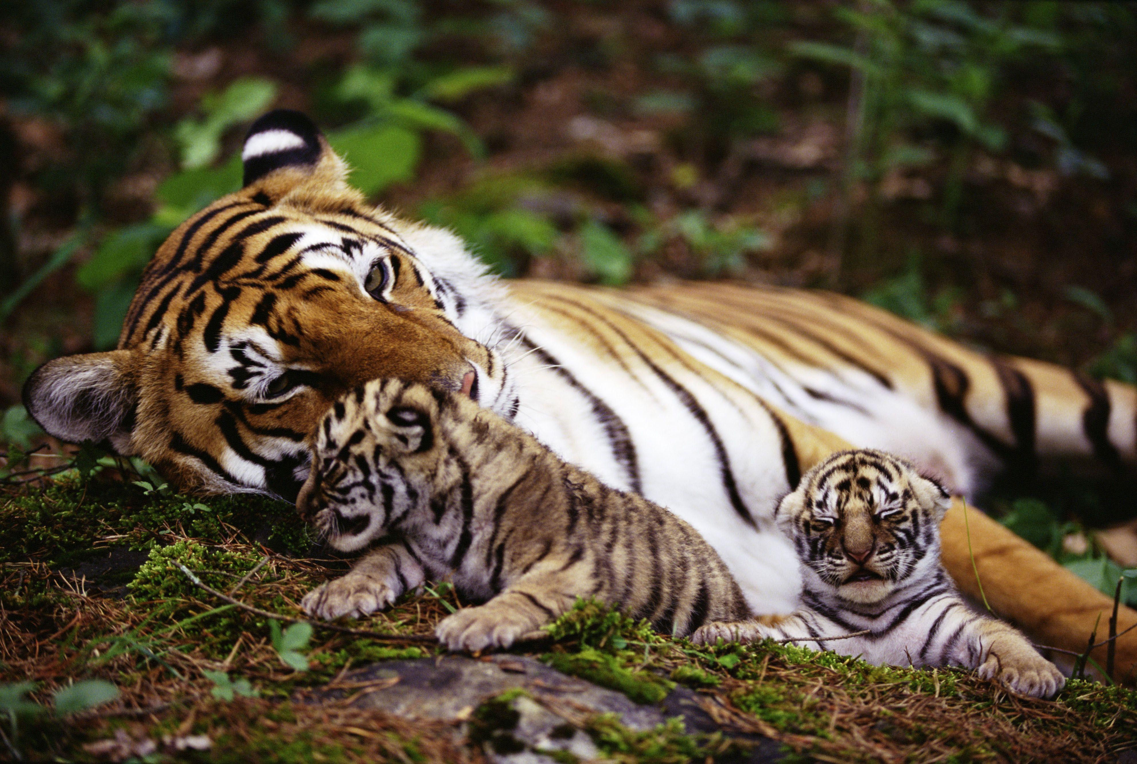 tiger and cubs cute! adorable | katten cats en katachtigen