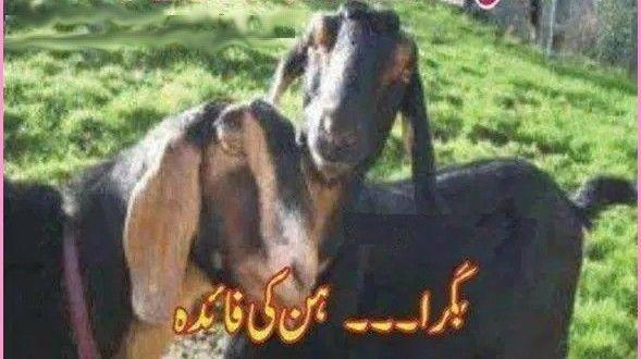 Eid Ul Adha Funny Goat Wallpaper Eidwallpaper Funnyimage