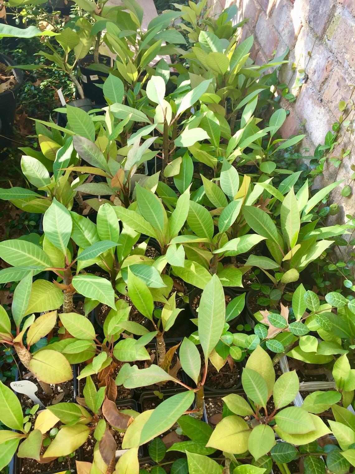 Frangipani dwarf plumeria frangipani tree rooted started