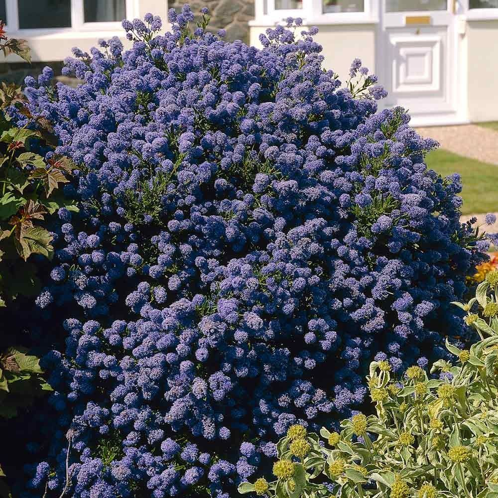 ceanothus puget blue a medium sized shrub of 1 5 2m. Black Bedroom Furniture Sets. Home Design Ideas