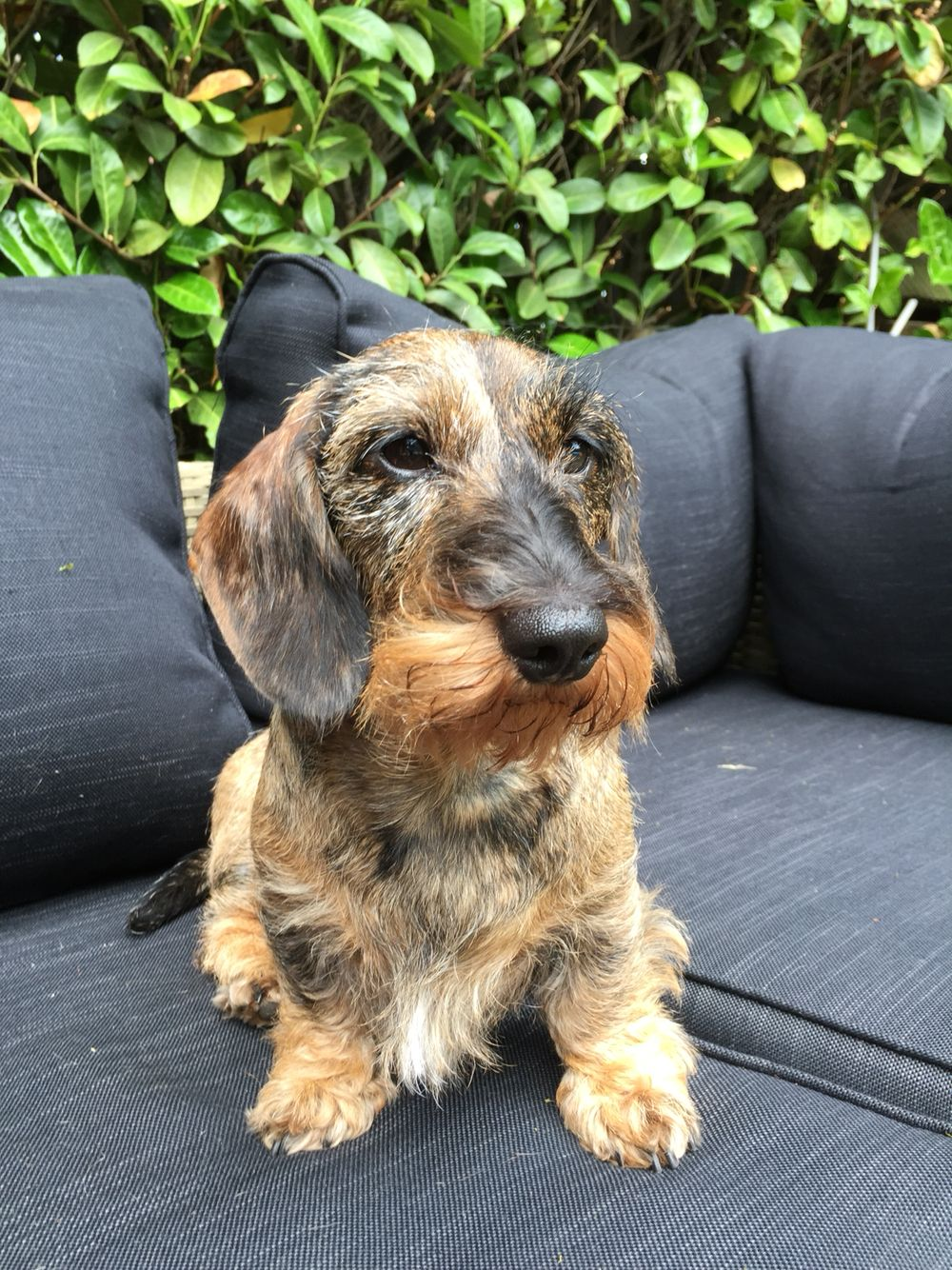 A Little Wired Haired Dachshund Dachshund Breed Wire Haired