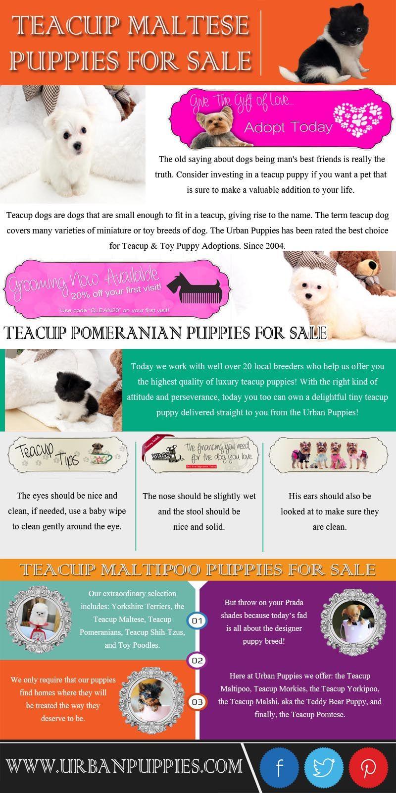 Puppies for Sale Morkies, Maltese, Yorktese, Malshi