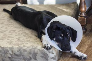 How to Care for a Dog After Neutering Surgery The First