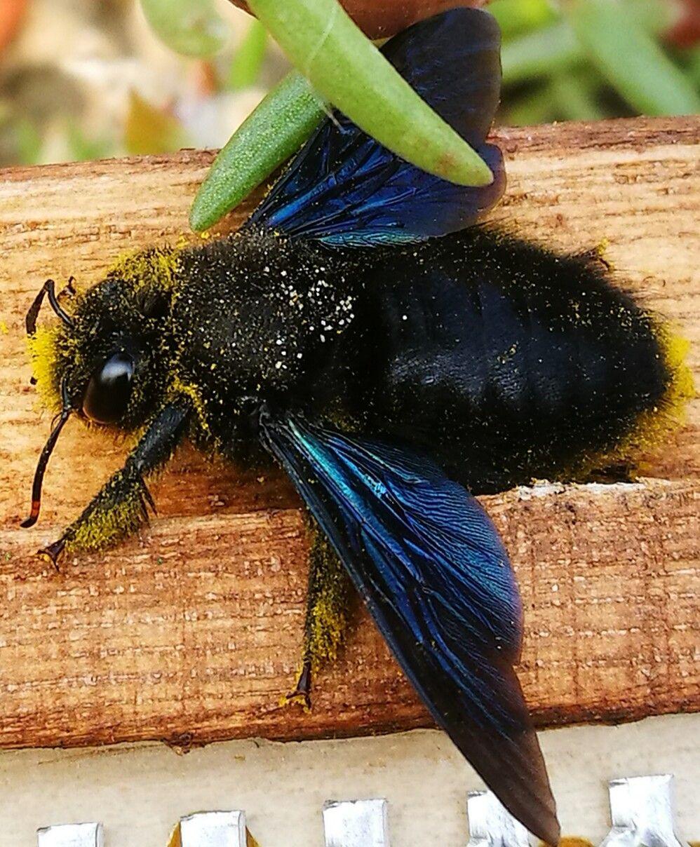 Holzbiene Macht Siesta Animals Bee Siesta