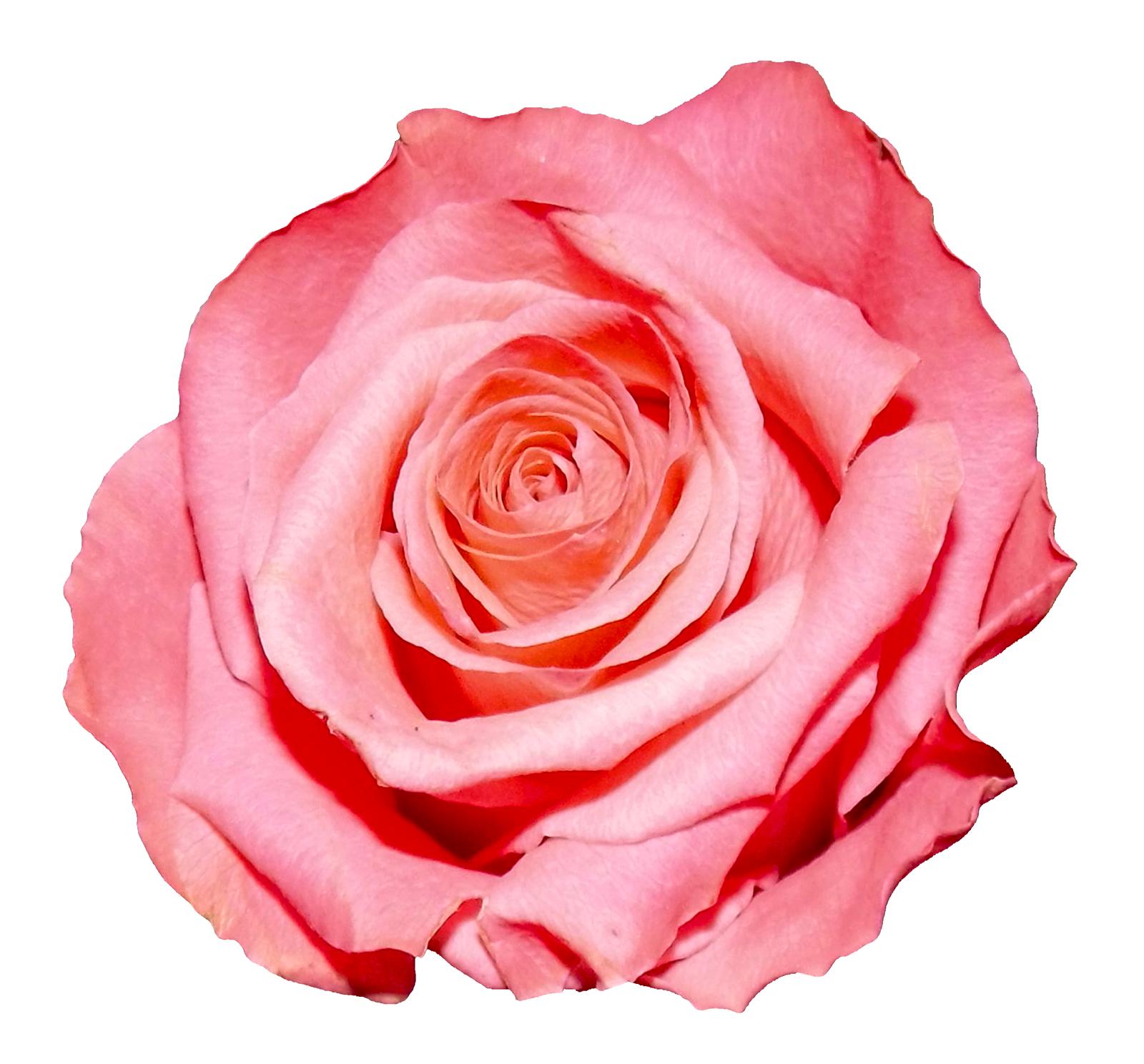 Rose Png Image Pink Rose Png Free Clip Art Rose