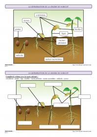Plusieurs fiches pour découvrir et apprendre le vocabulaire lié à la germination de la graine de haricot.