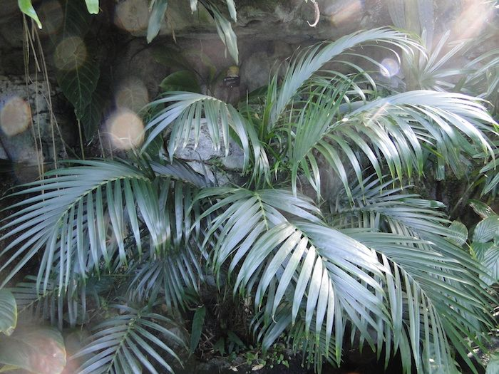 Wohnzimmer Palme ~ Grüne palme mit prächtigen blätter indirektes sonnenlicht