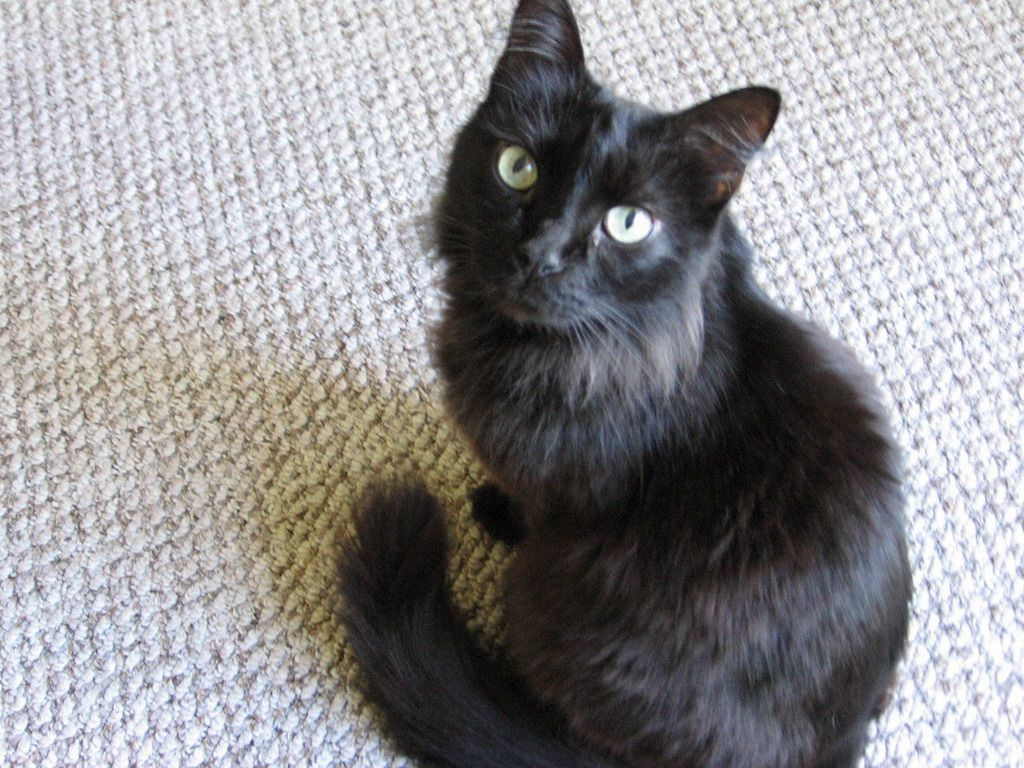 Chantilly Tiffany Chantilly Cat Cats Kitten Adoption