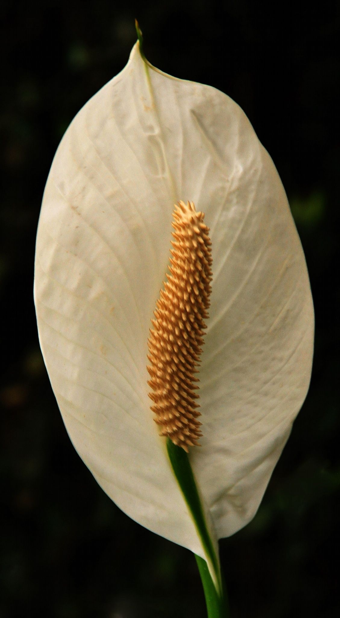 Calla lily by rocco cafagna on 500px flowers pinterest calla lily by rocco cafagna on 500px izmirmasajfo