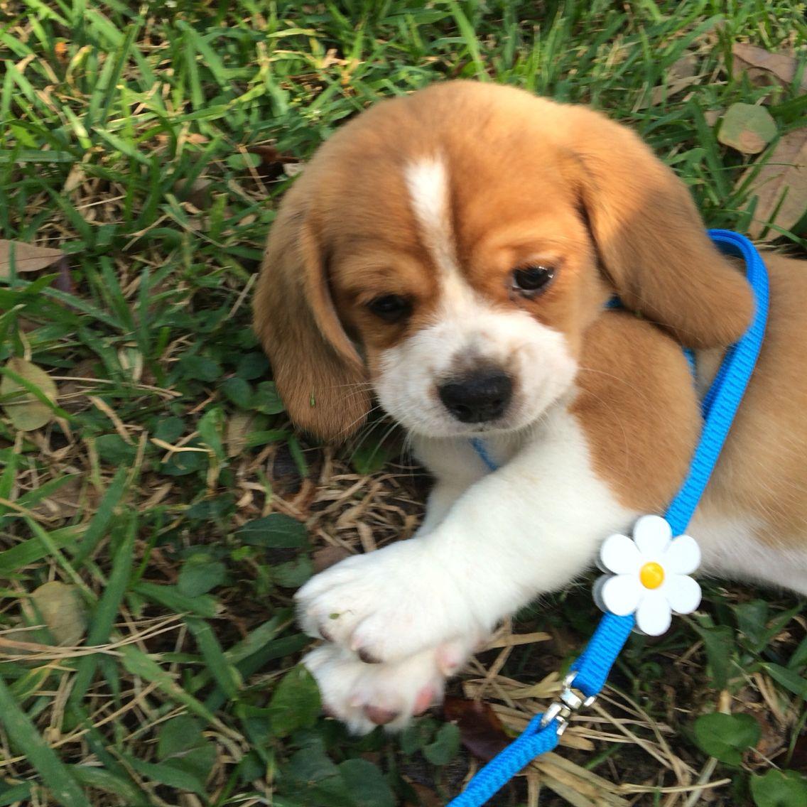 Puppy Peagle Puppies Beagle Mix Pekingese