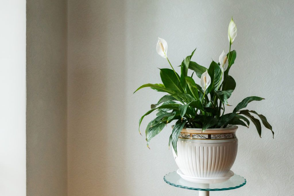10 Low Light House Plants   Flowering house plants, House ...